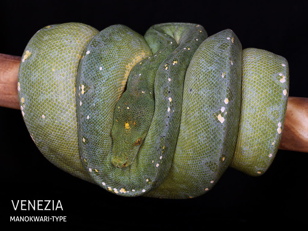 Baby Green Tree Python For Sale