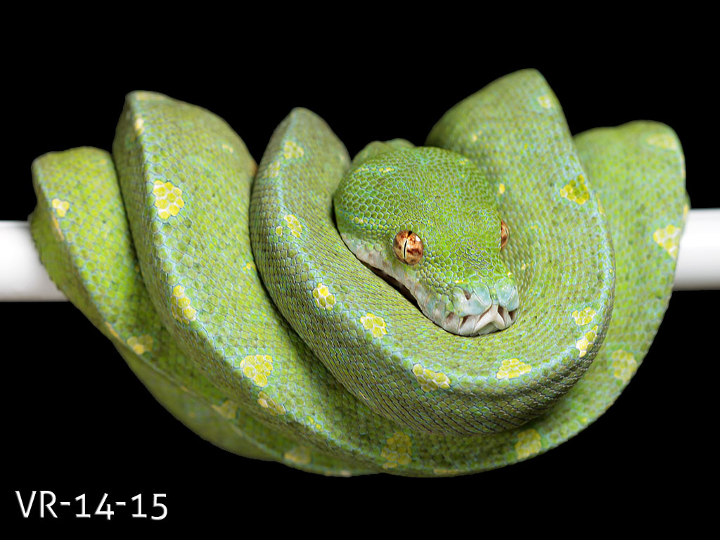 Green Tree Python for Sale - Manokwari and Cyclops Babies ... - photo#22