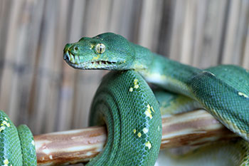 Cyclops Mountain green tree python female